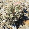 Pencil Cholla (Cylindropuntia ramosissima) CACTACEAE