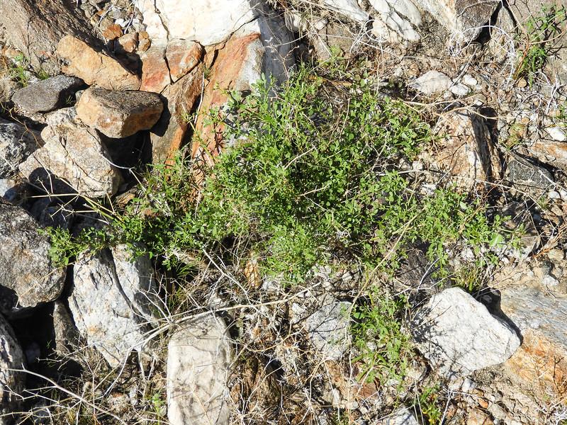 California Fagonia (Fagonia laevis) ZYGOPHYLLACEAE