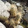 Hedgehog Cactus (Echinocereus engelmannii) CACTACEAE