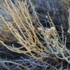 Turpentine Broom (Thamnosma montana) RUTACEAE
