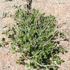 Wishbone Plant (Mirabilis laevis var. retrorsa) NYCTAGINACEAE