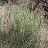 Rush (Juncus sp.)