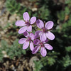 California Filaree (Erodium cicutarium)