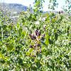 Chaparral Whitethorn (Ceanothus leucodermis) RHAMNACEAE