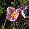 California Rose (Rosa californica) ROSACEAE