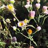 Diffuse Daisy (Erigeron divergens) ASTERACEAE