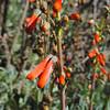 Scarlet Bugler (Penstemon centranthifolius)
