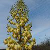 Chaparral Yucca (Hesperoyucca whipplei)
