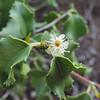 Hollyleaf Cherry (Prunus ilicifolia)