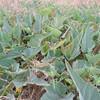 Coyote Mellon (Cucurbita foetidissima)