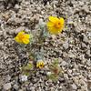 Woolly Easterbonnets (Eriophyllum wallacei)