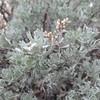 Big Sagebrush (Artemisia tridentata)