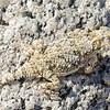 Desert Horned Lizard (Phrynosoma platyrhinos)