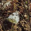 Checkered White (Ponita protodice)