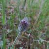 Indian Clover (Trifolium albopurpureum)