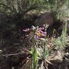 Rockcress (Boechera sp.)