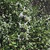 Black Sage (Salvia mellifera) LAMIACEAE