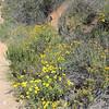 San Diego Sunflower (Bahiopsis laciniata) ASTERACEAE