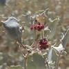 Desert Holly (Atriplex hymenelytra) CHENOPODIACEAE