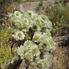 California Everlasting (Pseudognaphalium californicum) ASTERACEAE