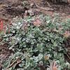 Scarlet Monardella (Monardella macrantha ssp. hallii) LAMIACEAE