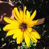 Bush Sunflower (Encelia californica) ASTERACEAE
