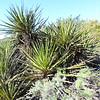 Mojave Yucca  (Yucca schidigera) AGAVACEAE