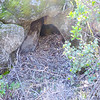 Dusky-footed Woodrat nest