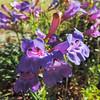 Foothill Penstemon  (Penstemon heterophyllus) PLANTAGINACEAE