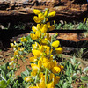Velvety False-lupine (Thermopsis californica var. semota) FABACEAE