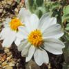 Easter Bonnets (Eriophyllum lanosum) ASTERACEAE