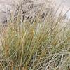 Desert Tea  (Ephedra californica) EPHEDRACEAE