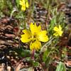 Hairy Suncup (Camissoniopsis hirtella) ONAGRACEAE