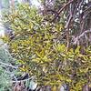 Juniper Mistletoe (Phoradendron juniperinum) VISCACEAE