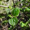 Hairy-leaf Ceanothus (Ceanothus oliganthus) RHAMNACEAE