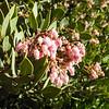 Mexican Manzanita (Arctostaphylos pungens) ERICACEAE