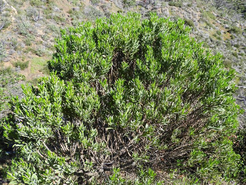 Parish's Goldenbush (Ericameria parishii var. parishii) ASTERACEAE
