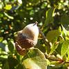 Scrub Oak (Quercus berberidifolia) FAGACEAE