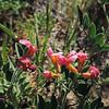Grand Lotus (Acmispon grandiflorus) FABACEAE