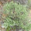 Cleveland Sage (Salvia clevelandii) LAMIACEAE