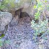 Dusky-footed Woodrat nest