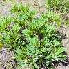 California Peony  (Paeonia californica) PAEONIACEAE