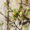 Creosote Bush Katydid (Insara covilleae)