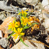 Goldfields  (Lasthenia sp.) ASTERACEAE