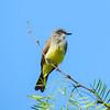 Cassin's Kingbird (Tyrannus vociferans)