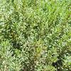 Boxthorn  (Lycium sp.) SOLANACEAE