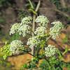 Poison Hemlock (Conium maculatum) APIACEAE