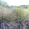 Spiny Rush  (Juncus acutus) JUNCACEAE
