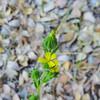 Slender Tarweed (Madia gracilis) ASTERACEAE
