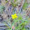 Suncup  (Camissonia sp.) ONAGRACEAE